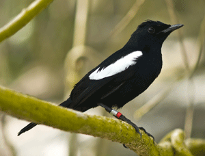The-Seychelles-Magpie-Robin