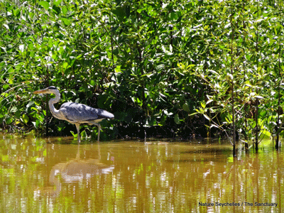 A-grey-heron-fishing-at-The